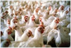 Hens in the Coop